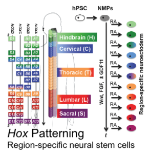 Hox Patterning